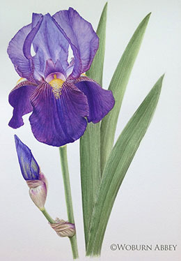 Duke of Bedford Iris