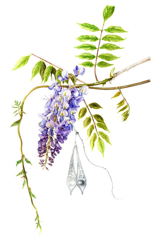 Wisteria chinensis by Julie Price